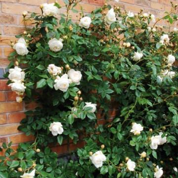 Rosa CLAIRE AUSTIN ® Ausprior