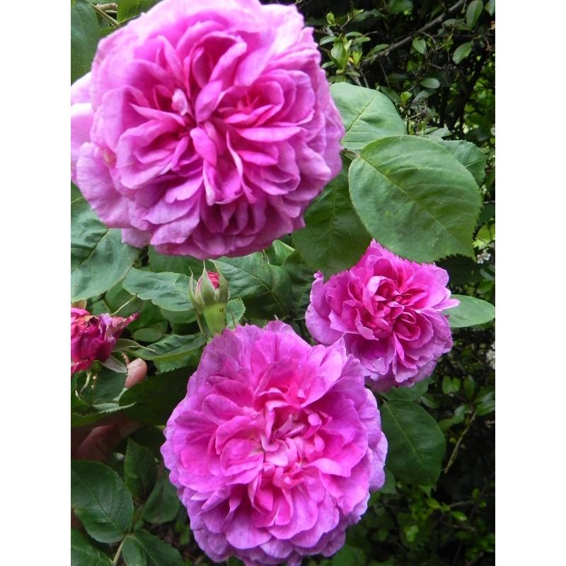 Arbusto de rosas Pequeña barra de 60 cm de ROSE DE RESCHT