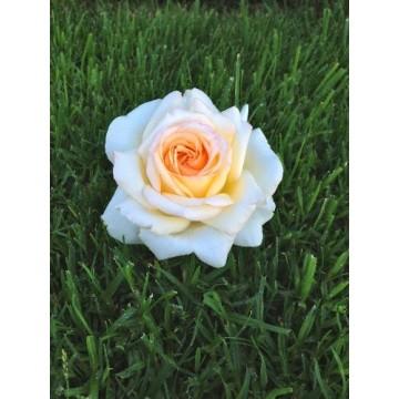 Rose, STAMM 90 cm ANASTASIA...