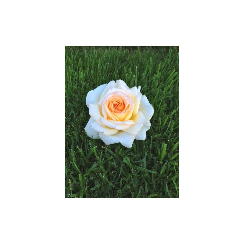 Rosa MADRE de 90 cm de ANASTASIA ® Adamariat