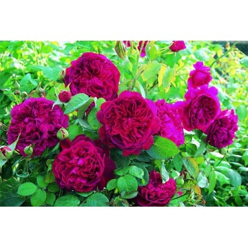 Rose STEM 90 cm WILLIAM...