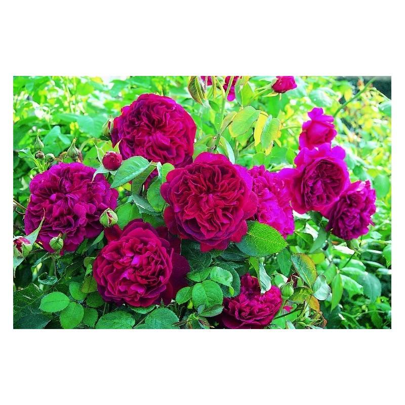 Rose, STAMM 90 cm WILLIAM SHAKESPEARE 2000 ® Ausromeo