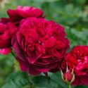STAMINALI di rosa 100 cm DARCEY BUSSELL Ausdecorum