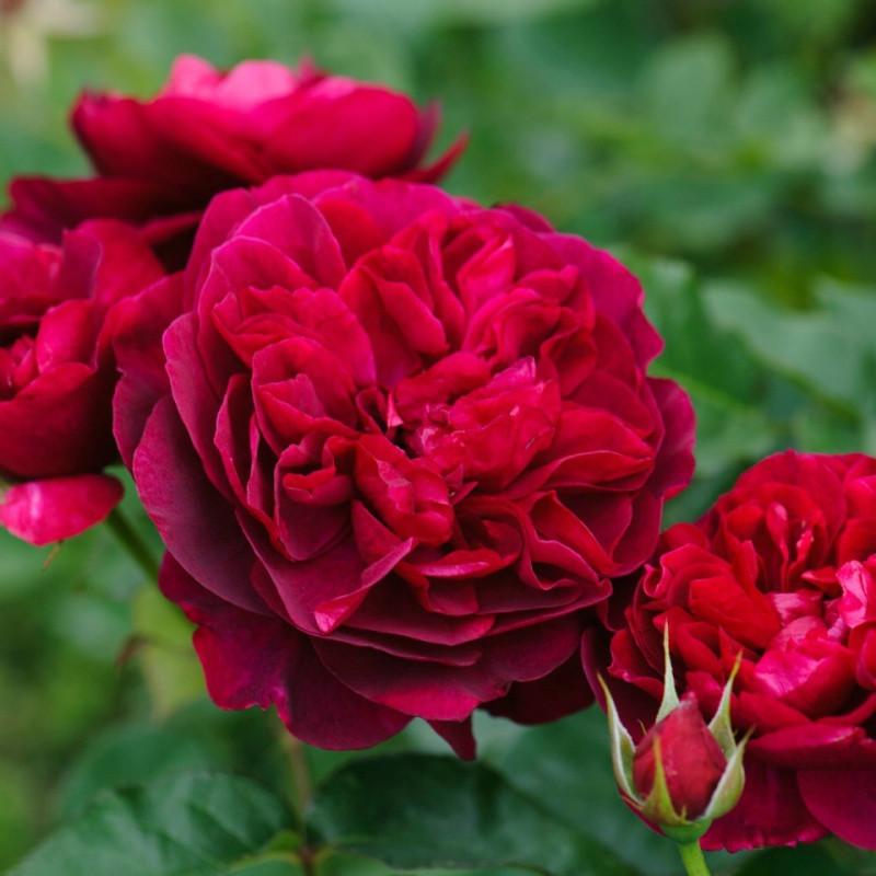 Rose STEM 100 cm DARCEY BUSSELL ® Ausdecorum