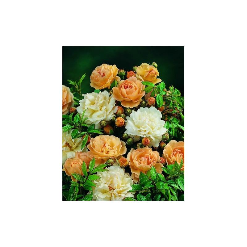 Rose tree Weeping 140 cm GHISLAINE DE FELIGONDE