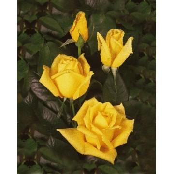 Rose, STAMM 90 cm LANDORA ®...