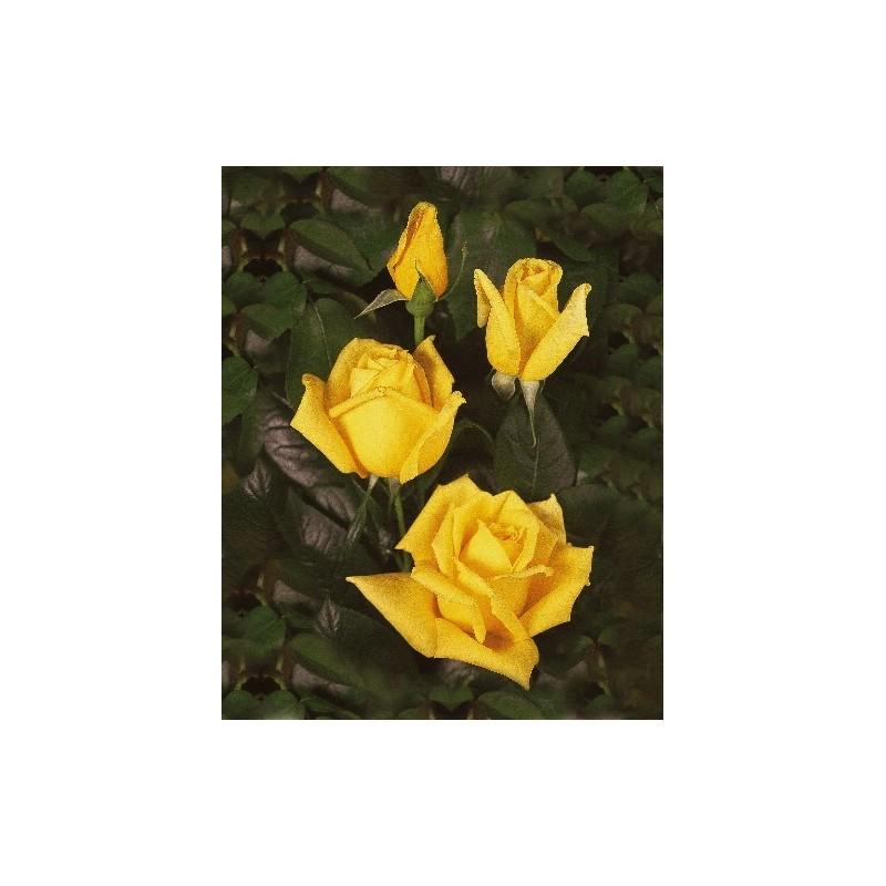 Rose STEM 90 cm LANDORA ®