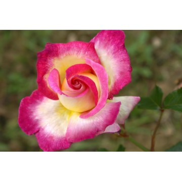Rose STEM 90 cm SWEET...