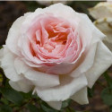 Rosa MADRE de 90 cm de ANDRE LE NOTRE ® Meiceppus