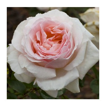 Rosa MADRE de 90 cm de...