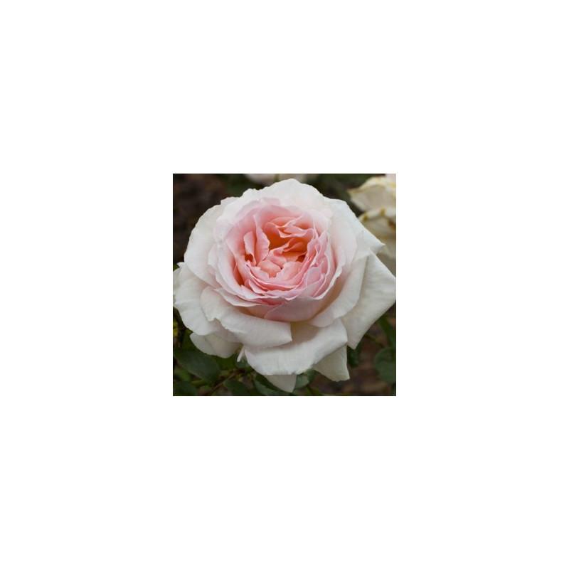 STAMINALI di rosa 90 cm ANDRE LE NOTRE Meiceppus